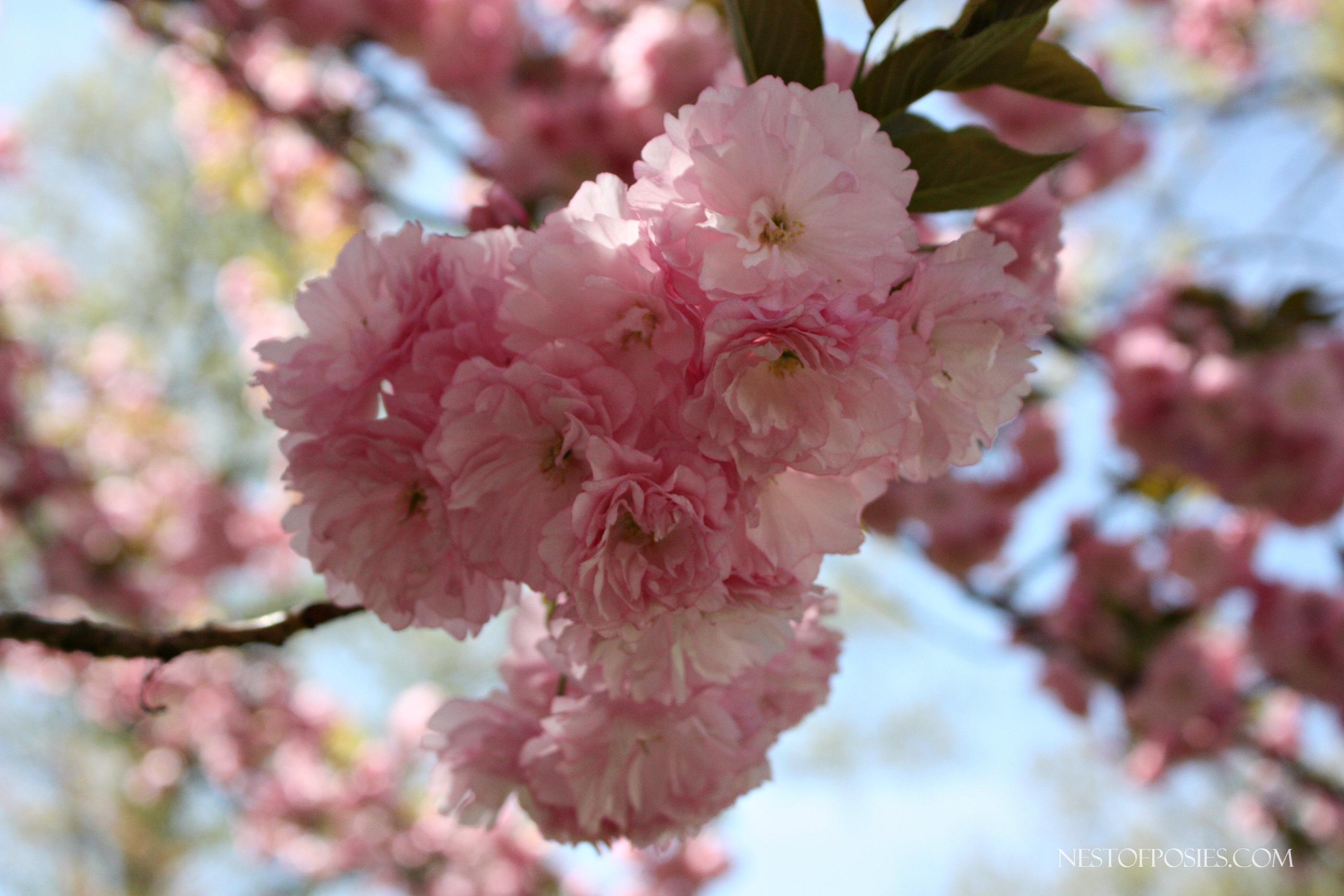 My very own Flowering Peach Tree